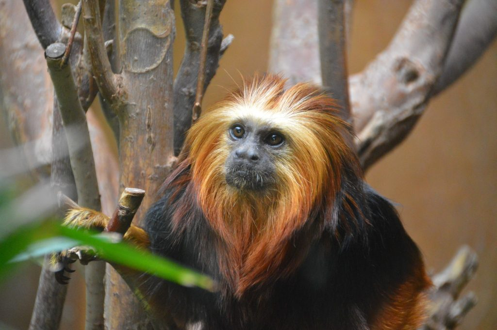 Golden Lion Headed Tamarin Chester Zoo October 2014 © Luchia Houghton