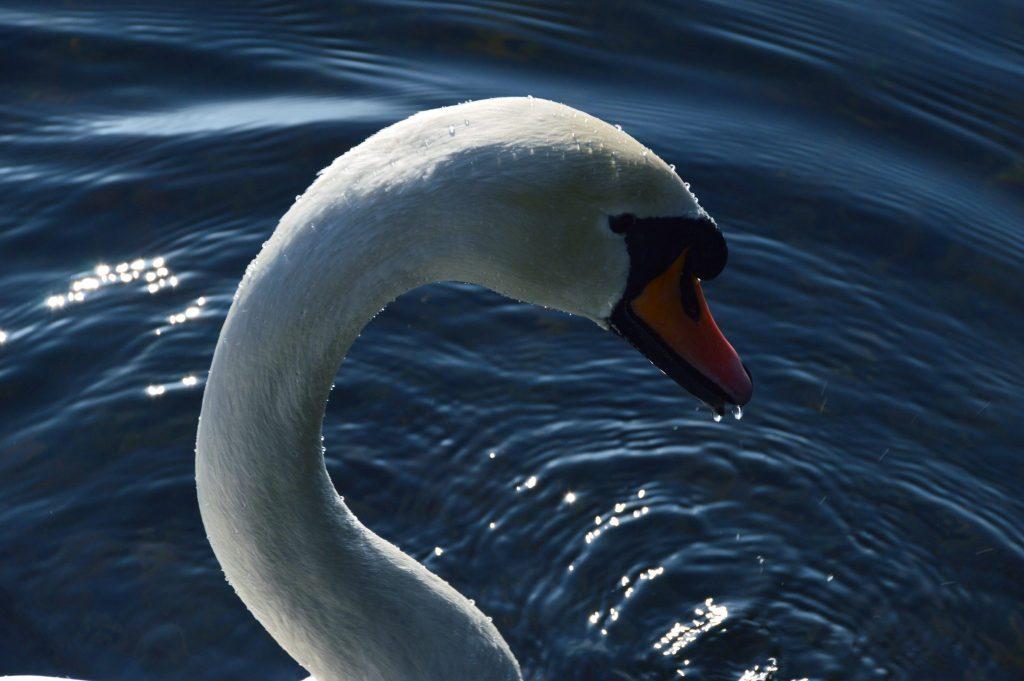 Swan 13th February 17 © Luchia Houghton