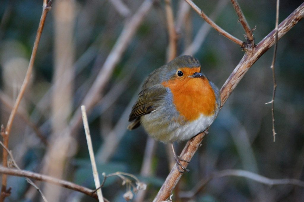 Robin 13th February 17 © Luchia Houghton